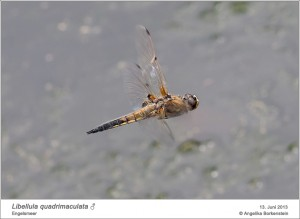 AF_L.quadrimaculata_M_AB_02