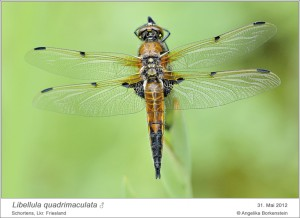 AF_L. quadrimaculata_M_AB 03