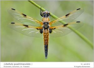 AF_L. quadrimaculata_W_AB 04