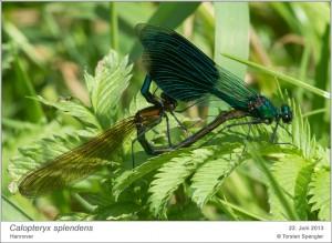 Calopteryx splendens, Paarung