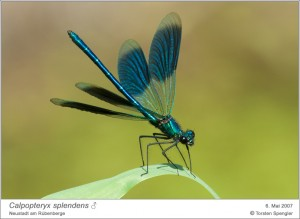 Calopteryx splendens, M