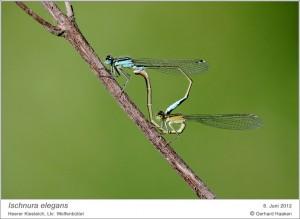 AF_I.elegans_Paar_GH 05
