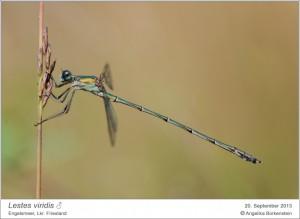 AF_L.viridis_M_AB 05