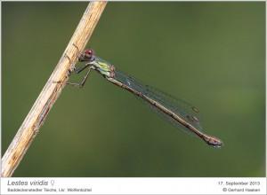 AF_L.viridis_W_GH 04