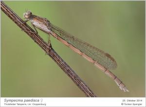 Sympecma paedisca, Weibchen